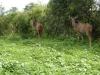 Kudu Kühe