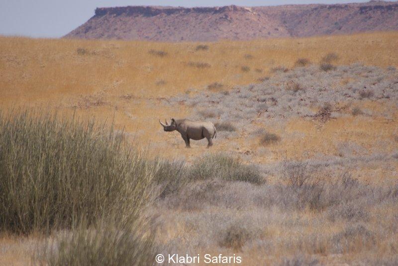 Schwarzes Rhino im Damaraland