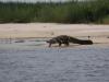 Krokodile am Zambesi